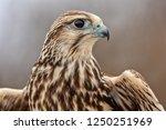 Saker falcon portrait  majestic ...