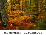 the colorful beech forest... | Shutterstock . vector #1250285083