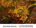 the colorful beech forest... | Shutterstock . vector #1250285086