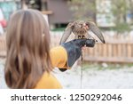 feeding common kestrel | Shutterstock . vector #1250292046