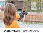 feeding common kestrel | Shutterstock . vector #1250292049