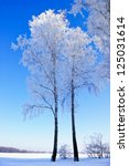 Birch Trees Bushes Twigs In Th...
