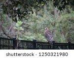 hawk raptor bird of prey...   Shutterstock . vector #1250321980