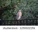 hawk raptor bird of prey...   Shutterstock . vector #1250322196