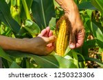 corn cob in farmer hands while... | Shutterstock . vector #1250323306