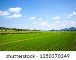 rice paddy in Sangju-si, South Korea.