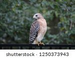 hawk raptor bird of prey... | Shutterstock . vector #1250373943