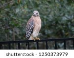 hawk raptor bird of prey... | Shutterstock . vector #1250373979