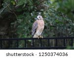 hawk raptor bird of prey... | Shutterstock . vector #1250374036