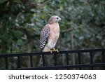 hawk raptor bird of prey... | Shutterstock . vector #1250374063