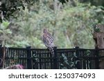 hawk raptor bird of prey... | Shutterstock . vector #1250374093