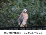 hawk raptor bird of prey... | Shutterstock . vector #1250374126