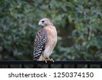 hawk raptor bird of prey... | Shutterstock . vector #1250374150