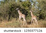 pair of young masai giraffes ... | Shutterstock . vector #1250377126