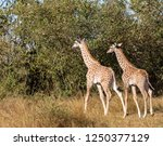 pair of young masai giraffes ... | Shutterstock . vector #1250377129