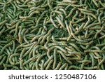 the silkworm is the larva or... | Shutterstock . vector #1250487106