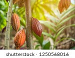 the cocoa tree with fruits.... | Shutterstock . vector #1250568016
