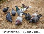 Pigeons On The Street. Feeding.