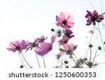 low angle view on pink cosmos...   Shutterstock . vector #1250600353