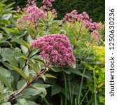 eupatorium maculatum... | Shutterstock . vector #1250630236
