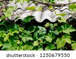 vineyards with with large green ... | Shutterstock . vector #1250679550