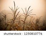 ready harvest dry corn plant on ... | Shutterstock . vector #1250810776