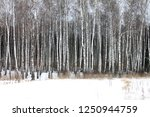 black and white birch trees...   Shutterstock . vector #1250944759