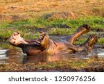 a hippo bull puts on an... | Shutterstock . vector #1250976256