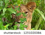 a lioness from the river lodge...   Shutterstock . vector #1251020386