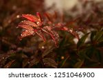 sunlight on red leaves with... | Shutterstock . vector #1251046900