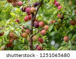 Fruit Of A Japanese Plum Tree