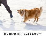 the collie dog barking to man... | Shutterstock . vector #1251135949