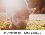 old but cute boar close up in... | Shutterstock . vector #1251180673