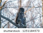 A Great Gray Owl Perches Atop A ...