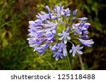 Agapanthus Flower Head
