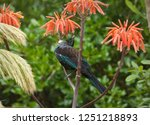 new zealand tui feeding on a... | Shutterstock . vector #1251218893