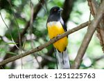 a bright endemic yellow   green ... | Shutterstock . vector #1251225763