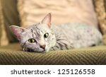 A Comfortable Egyptian Mau Cat...