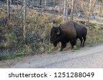 single powerful buffalo   bison ... | Shutterstock . vector #1251288049