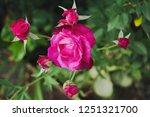 bright pink roses in the garden ... | Shutterstock . vector #1251321700