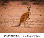 red kangaroo  macropus rufus ... | Shutterstock . vector #1251339433