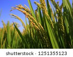 the autumn rice fields   | Shutterstock . vector #1251355123