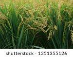 the autumn rice fields   | Shutterstock . vector #1251355126