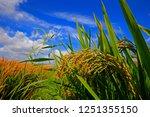 the autumn rice fields   | Shutterstock . vector #1251355150