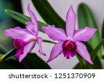 cattleya labiata pink orchid... | Shutterstock . vector #1251370909
