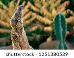 meerkat  suricate  suricata...   Shutterstock . vector #1251380539