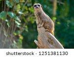 meerkat  suricate  suricata...   Shutterstock . vector #1251381130