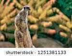 meerkat  suricate  suricata...   Shutterstock . vector #1251381133