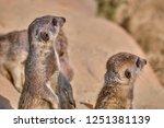 meerkat  suricate  suricata...   Shutterstock . vector #1251381139