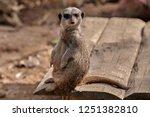 meerkat  suricate  suricata...   Shutterstock . vector #1251382810
